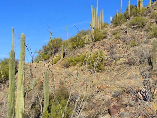 Saguaros prevail along the south-facing slope of the Sendero Esperanza Trail